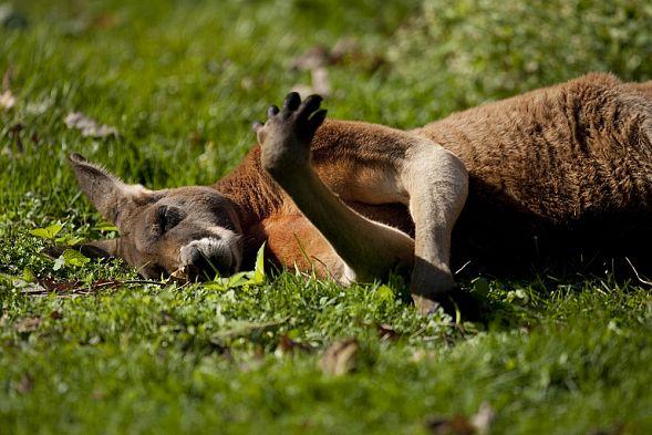 Посетители китайского зоопарка забили кенгуру камнями