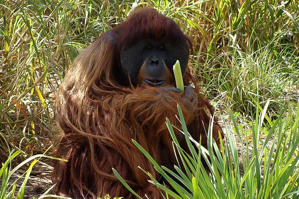 ВАвстралии скончался самый старый орангутан напланете, живший вневоле